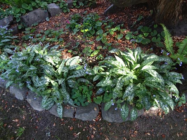 pulmonaria growing underneath Rhododendron 'Cynthia'