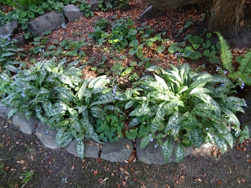 pulmonaria growing underneath Rhododendron 'Cynthia'