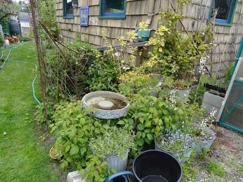 migrating raspberries need pulling! birdbath needs cleaning!