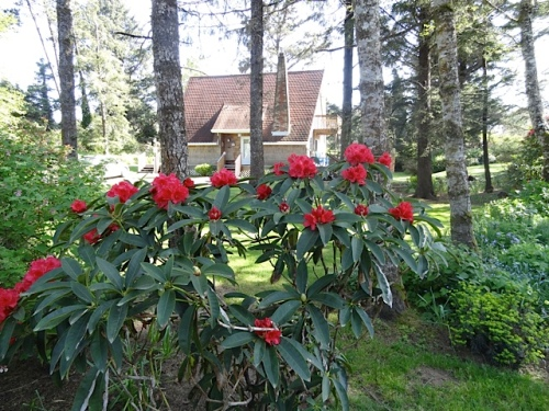 red rhodies with the A Frame in background (one of the vacation rentals)