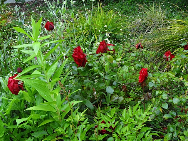 mom's red rose in NW quadrant