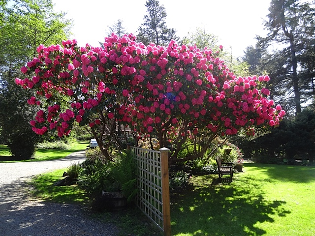 Rhododendron 'Cynthia' by the pond.