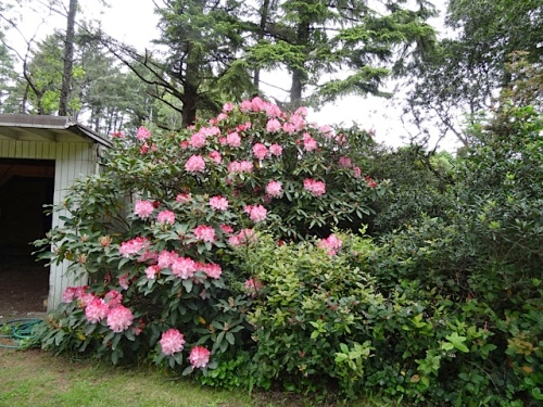 The rhododendron by where we park....