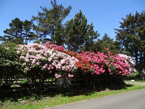 Seaview rhododendrons