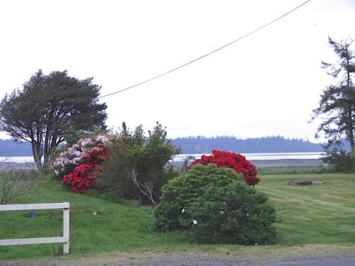 Rhododendrons on Willapa Bay
