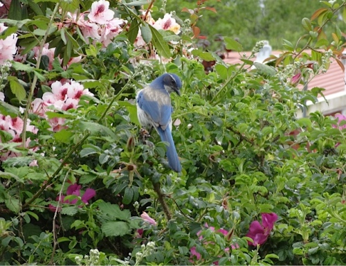 in Nora's rugosa rose patch
