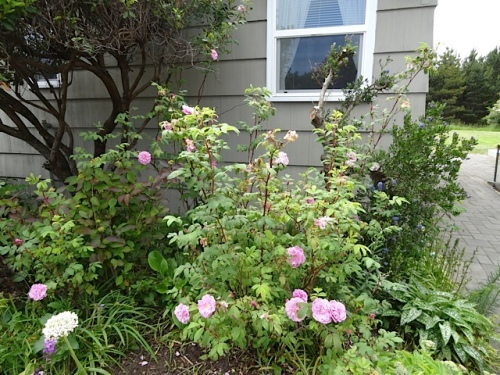 Since we had to cut back an ailing ceanothus, this rose is doing much better in the light.