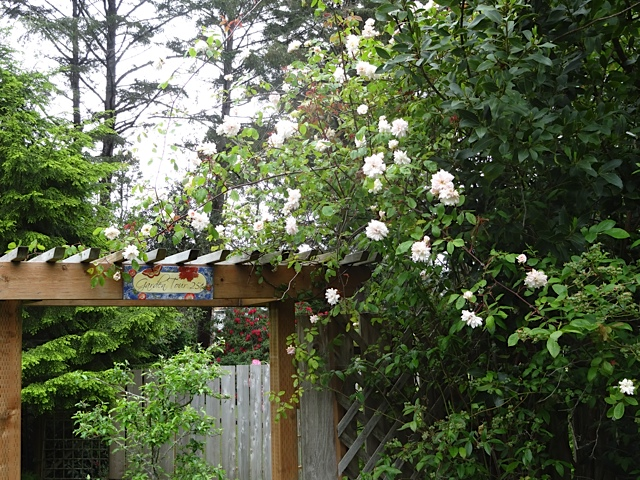 rose clambering into the bay tree
