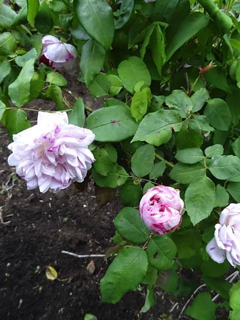 This rose used to live at the Wiegardt Gallery...back when the building was pink and the garden undiscovered by the deer.