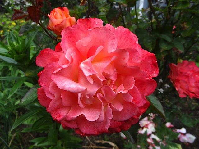 I wish I knew this rose's name.