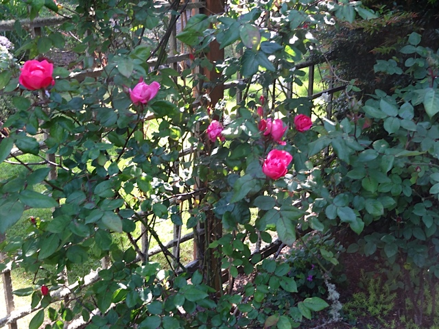 Knock Out roses inside the fence
