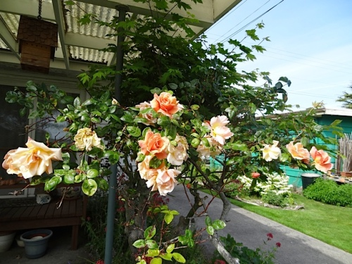 fragrant peachy roses by Nora's back porch