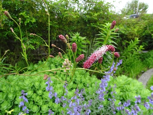 Sanguisorba in the park ('Pink Elephant', perhaps)
