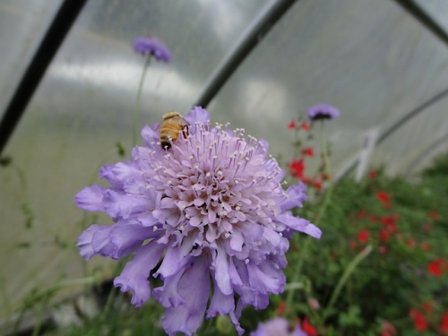 Scabiosa in the greenhouse