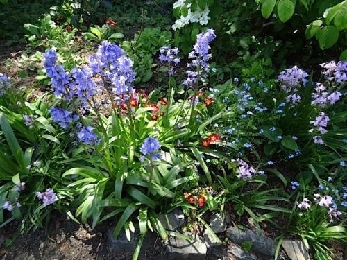 scilla and primroses