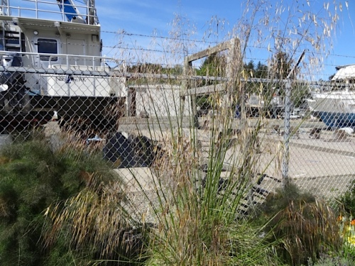 at the boatyard, Stipa gigantea in bloom