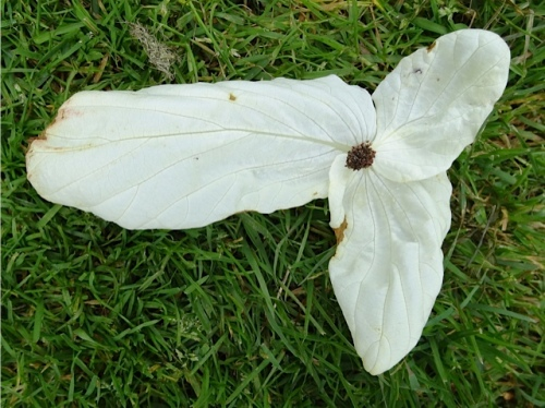 "a fallen flower...The tree's common name is ""dove tree"" or ""pocket handkerchief tree""."