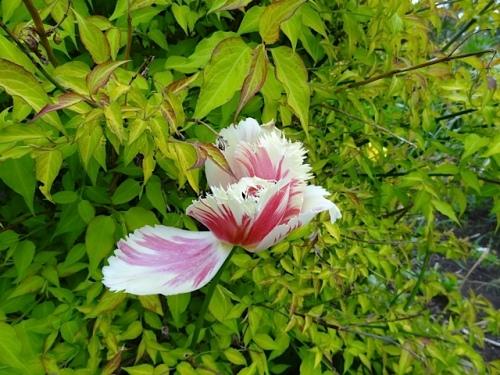 one lingering tulip