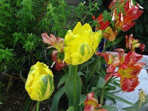 detail: the latest tulip, 'Formosa'