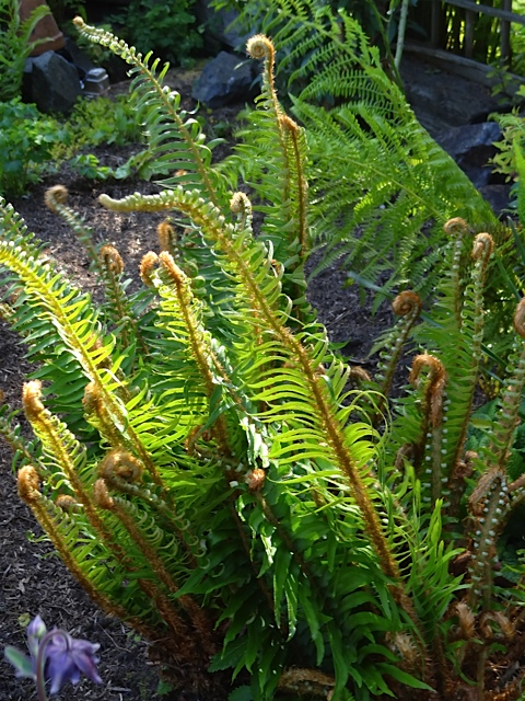 The unfurling shows so beautifully when the old fronds have been removed in early spring.