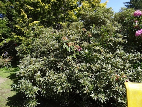 a rhododendron with variegated leaves