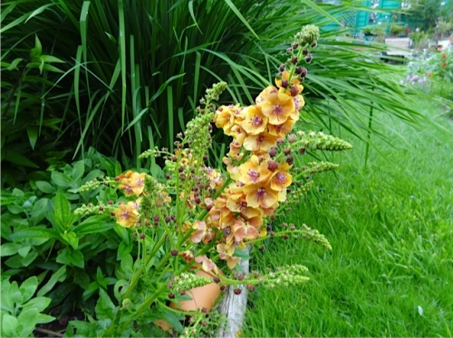Verbascum in the garden...