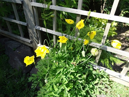 Meconopsis cambrica (Welsh poppy)