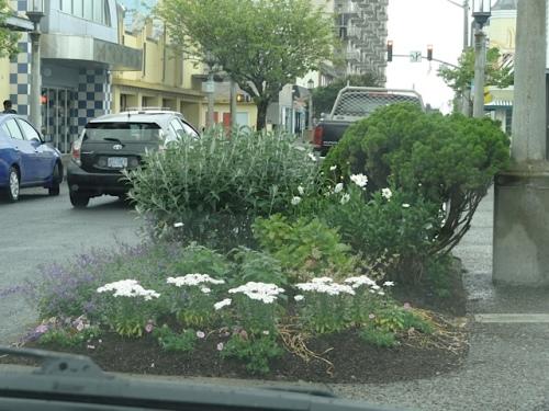 white against glaucous foliage