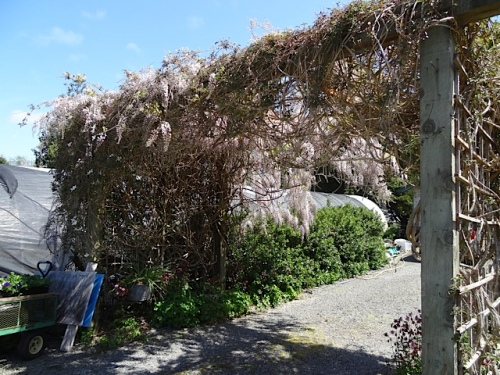 Fred and Nancy live right next door, behind this impressive wisteria arbour.