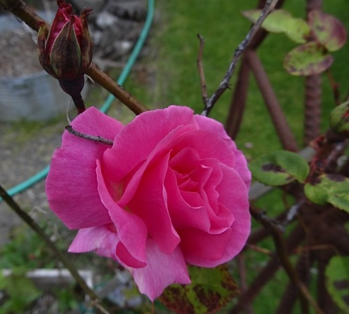 Rose Zepherine Drouhin  by the patio; she's thornless.