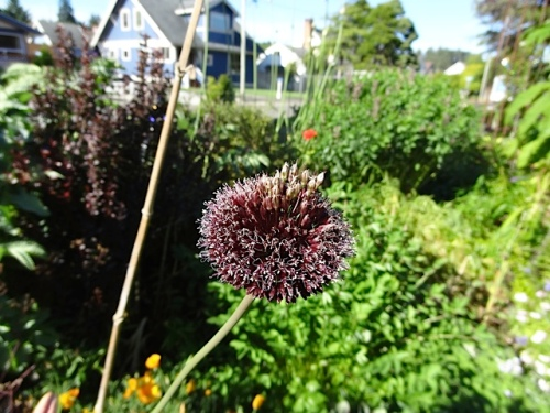 one of the tall alliums