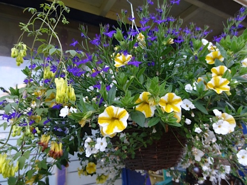 front porch basket with Callie 'Lemon Slice', being clambered on by Dicentra scandens (bleeding heart vine)