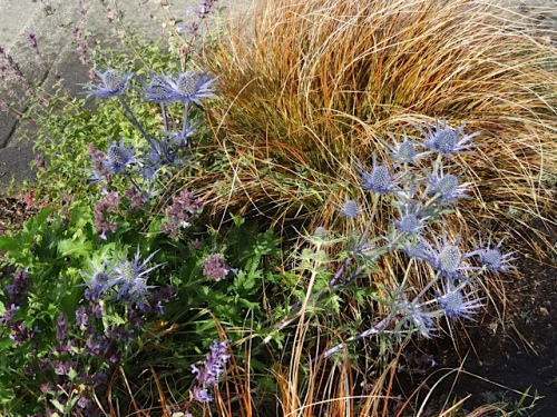Eryngium 'Sapphire Blue' in Port Office curbside garden on Howerton.