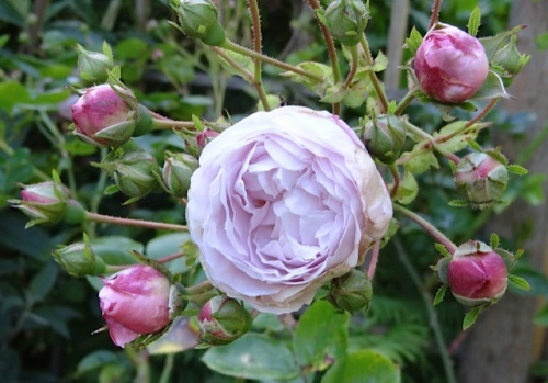 I have thought this was rose 'Bow Bells'...but it is too pale, I think now.