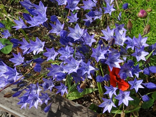 Brodiaea 'Queen Fabioloa' in the Payson Hall planters