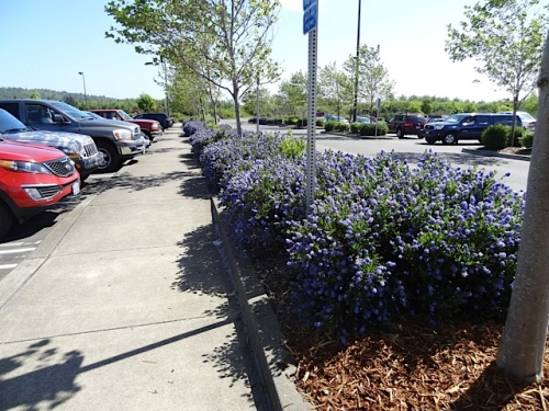 ceanothus in the Costco parking lot
