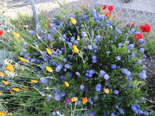 ceanothus and California poppies