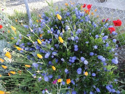 ceanothus and California poppies