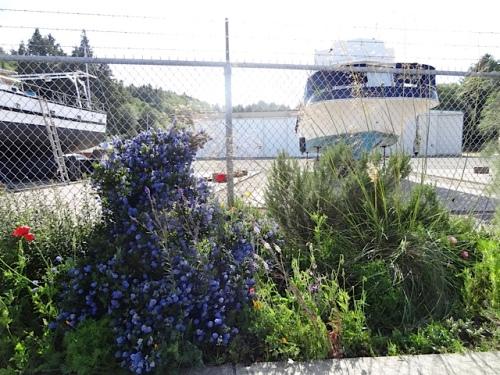 boatyard Ceanothus