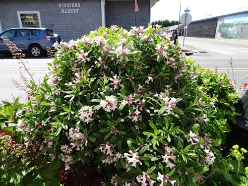 the wonderful fragrant daphne by the Elks building