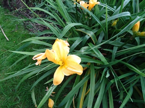 Why do I have so many daylilies?  This one is pretty good...