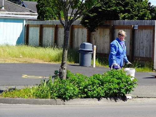 Allan's photo: me hauling hose and bucket past one of the tree gardens.  I am sure I was wishing that rugosa rose had been pulled out the first time it appeared in there.