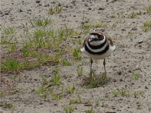 Allan's photo: a killdeer at the city works yard