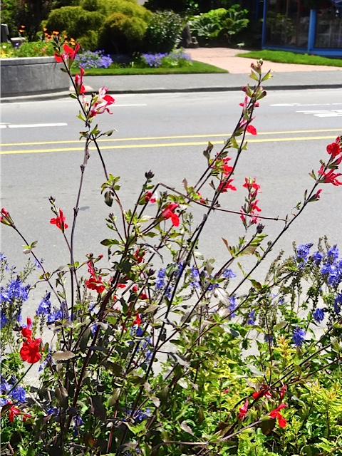 Allan's photo: Hot Lips Salvia