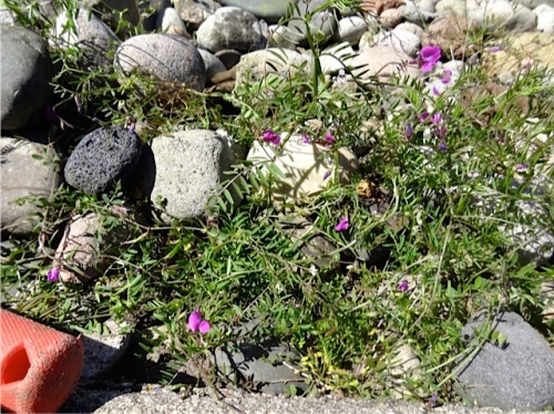 Allan's photo: much vetch to weed out of the river rock bed on the curbside by the old Portside Café