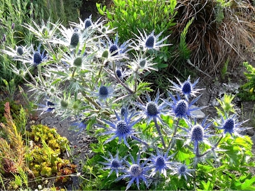 Allan's photo: Eryngium 'Sapphire Blue'