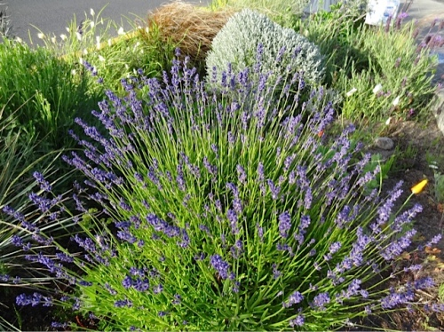 Allan's photo: lavender