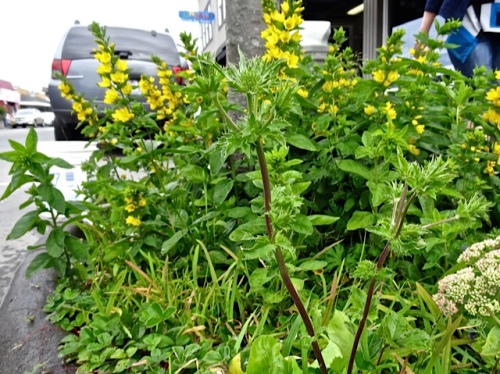 Allan's photo: Lysimachia punctata under one of the street trees
