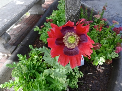Someone else sowed some tall poppies under the street tree by Long Beach tavern.  (Allan's photo)
