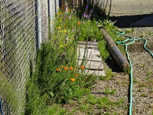 Allan's photo: the watering obstacle course